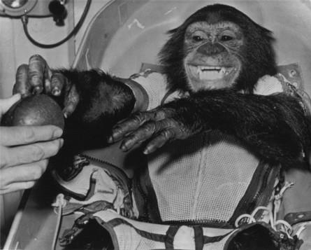 gordo_chimp